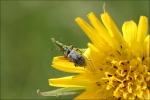Vabole uz zieda